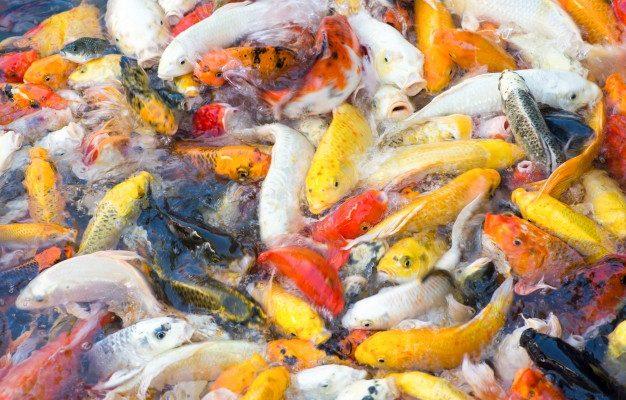 อาหารปลาคาร์ฟ Saiteki หรือ Koi